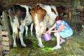 О селе и молоке: как нас обманывают и что делать