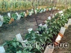 Черниговец спасает огород от засухи с помощью пластиковых бутылок