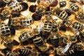 На Черниговщине рой пчел насмерть закусал 56-летнего мужчину. ВИДЕО