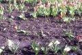 В Чернигове задержали похитителей тюльпанов