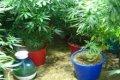 В Черниговской области мужчина занимался выращиванием марихуаны. ФОТО