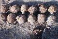 В Репкинском районе Черниговской области обнаружили 31 гранату Ф-1