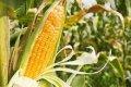 Кукуруза в Черниговской области - самая популярная сельскохозяйственная культура